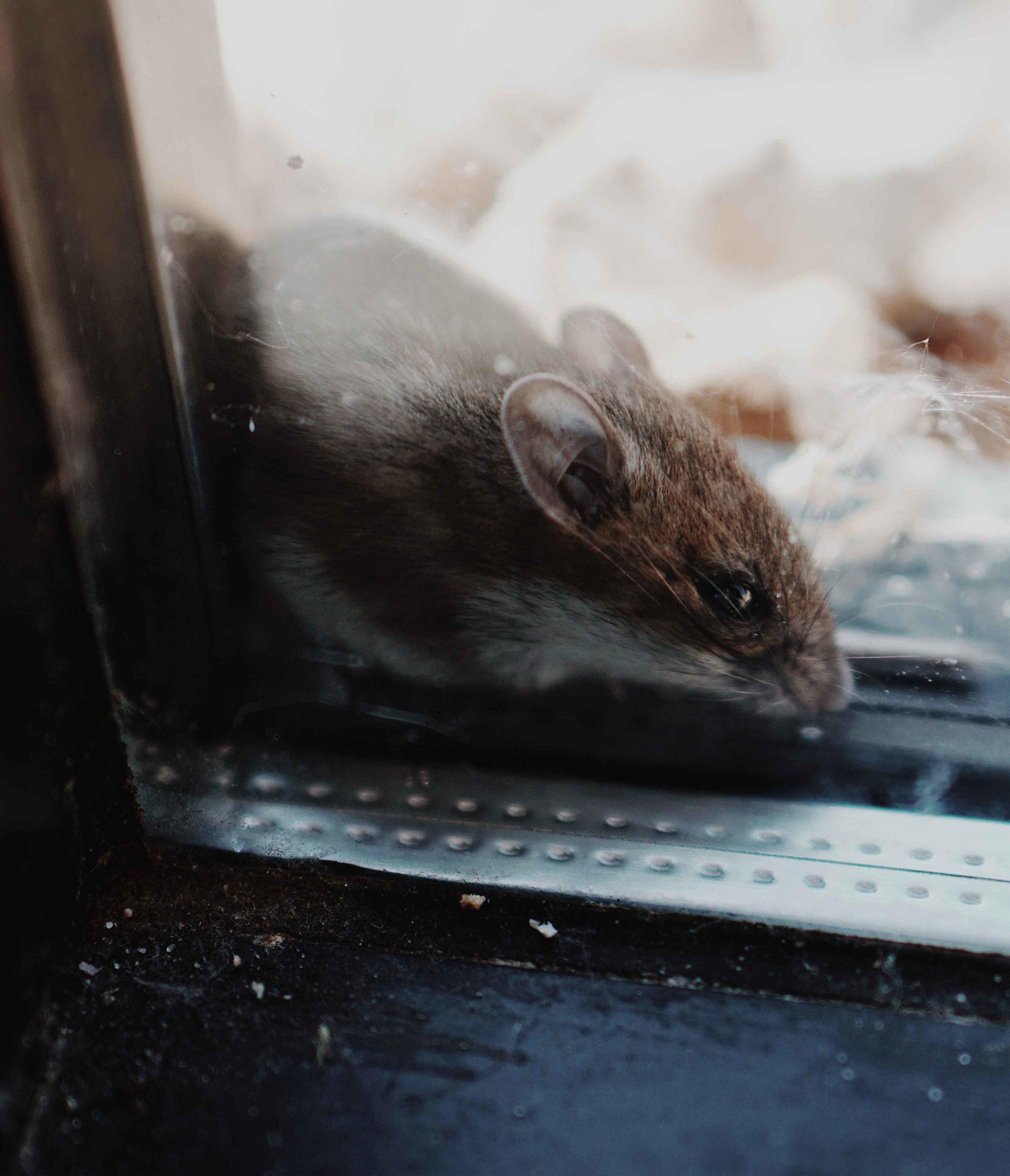 Souris Grimpe Au Mur quels sont les signes caractéristiques des rats et des